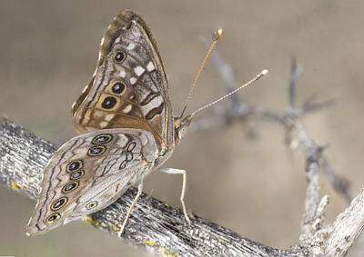 Photograph - Sepia Butterfly by Charlie Alolkoy