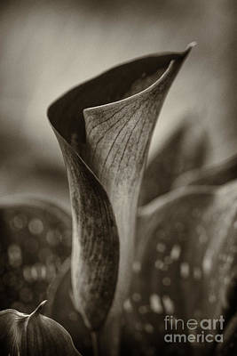 Photograph - Sepia Calla Lily by Clare Bambers