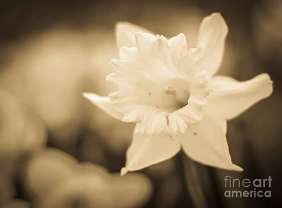Photograph - Sepia Daffodil  by Alissa Beth Photography