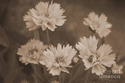 Photograph - Sepia In The Daisy Family by Kay Novy