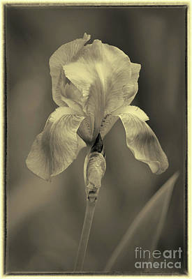 Photograph - Sepia Iris  by Karen Adams