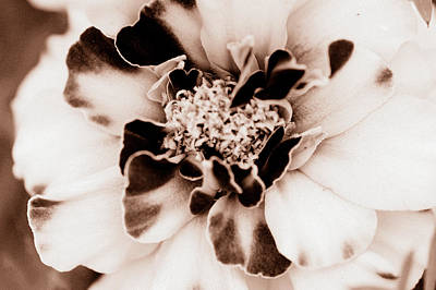 Photograph - Sepia Marigold by Christine Ricker Brandt