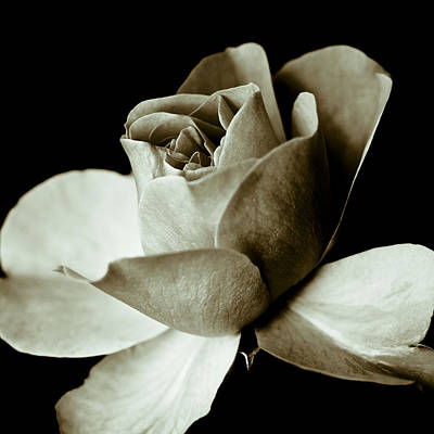 Sepia Rose Art Print by Frank Tschakert