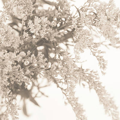 Photograph - Sepia Solidago 3 by Anne Gilbert