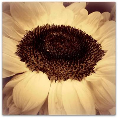 Photograph - Sepia Sunflower by Fred Bonilla