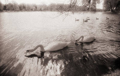 Sepia Swans Art Print