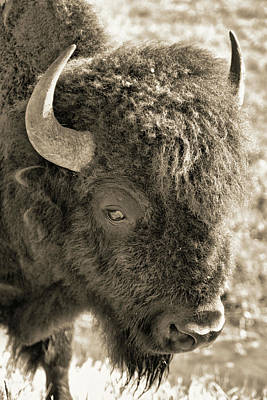 Photograph - Sepia Tone Bison by Dan Sproul