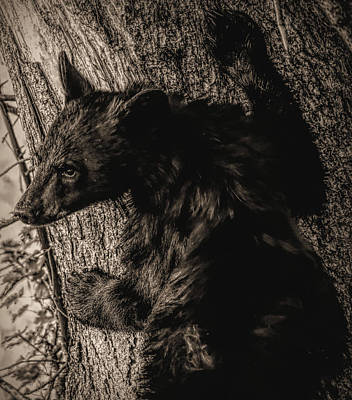 Photograph - Sepia Tone Black Bear Cub by Dan Sproul