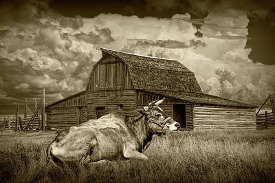 Photograph - Sepia Tone Of A Farm Cow Laying In The Grass by Randall Nyhof