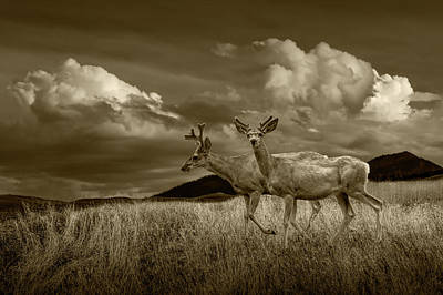 Coy Fish Michael Creese Paintings - Sepia Tone of Male Mule Deer with Velvet Antlers by Randall Nyhof