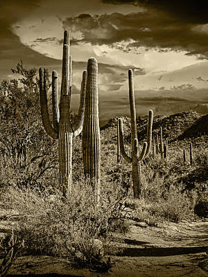 Antlers - Sepia Toned Photograph of Saguaro Cactuses by Randall Nyhof