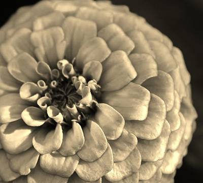 Photograph - Sepia Toned Zinnia by Bruce Bley