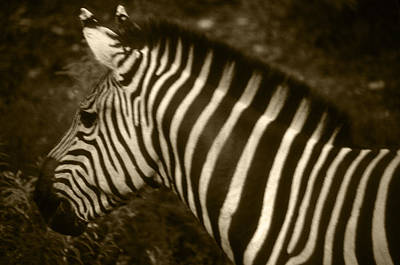 Photograph - Sepia Zebra by Greg Slocum