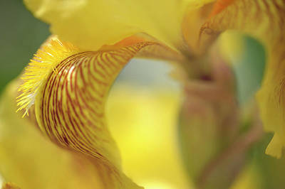 Photograph - Sepiagold. The Beauty Of Irises by Jenny Rainbow