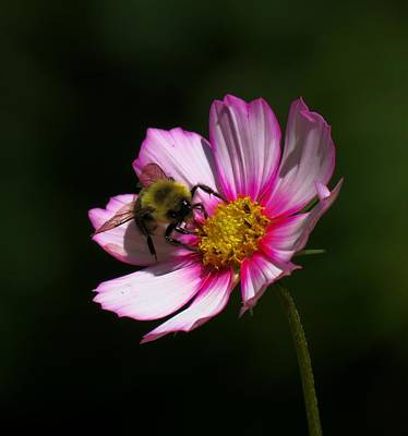Photograph - September Bee On Cosmos by MTBobbins Photography