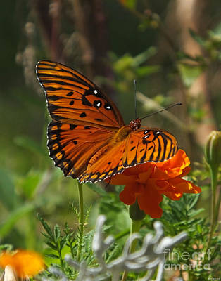 Photograph - September Gulf Fritillary On Marigold by Lizi Beard-Ward