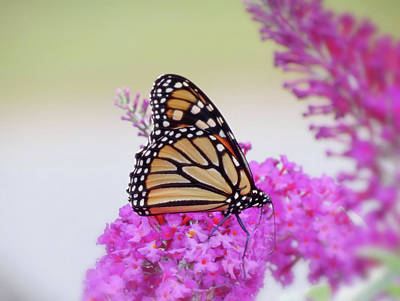 Photograph - September Monarch - Butterfly by MTBobbins Photography