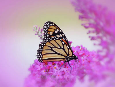 Photograph - September Monarch - Butterfly - Vignette by MTBobbins Photography