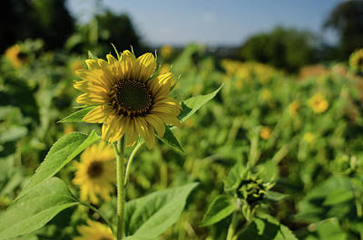 Photograph - September Sunflower by Miguel Winterpacht