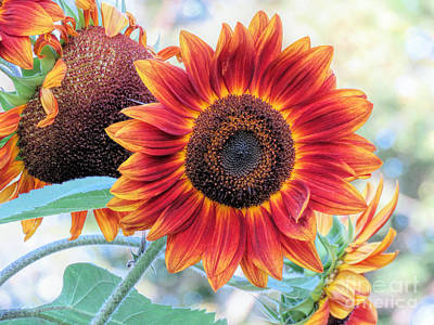 Photograph - September Sunflowers by Janice Drew