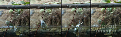 Photograph - Sequence Archer Fish Jumping Out Of Water To Prey On Insect by Dan Friend