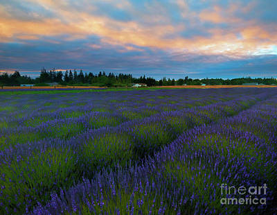 Photograph - Sequim Lavender Sunset by Mike Dawson