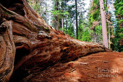 Photograph - Sequoia Down by David Arment