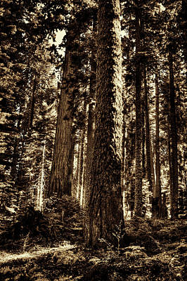 Photograph - Sequoia Grove Along Crescent Meadow Loop by Roger Passman