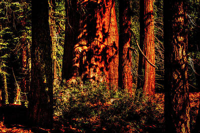 Photograph - Sequoia Grove Early Morning by Roger Passman