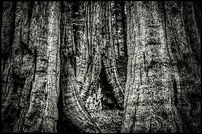 Photograph - Sequoia Grove by Roger Passman
