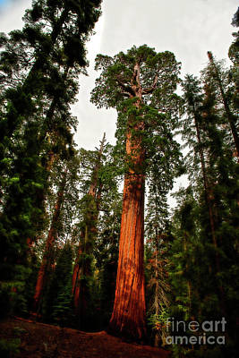 Photograph - Sequoia In Kings Canyon by David Arment