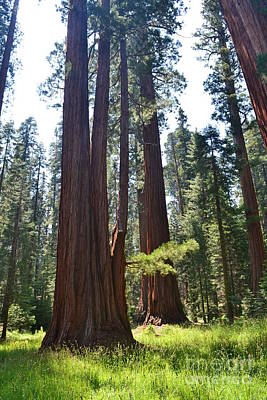 Photograph - Sequoia National Park by Laurianna Taylor