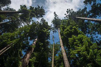 Photograph - Sequoia Park Redwoods Reaching To The Sky by Greg Nyquist