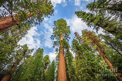Photograph - Sequoias Everywhere by JR Photography