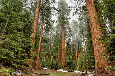 Photograph - Sequoias In The Fog by Belinda Greb