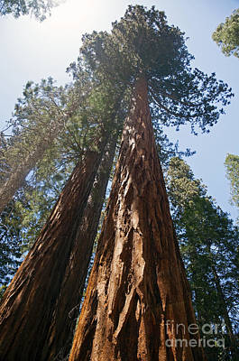 Photograph - Sequoias - Mariposa Grove by Cindy Murphy - NightVisions
