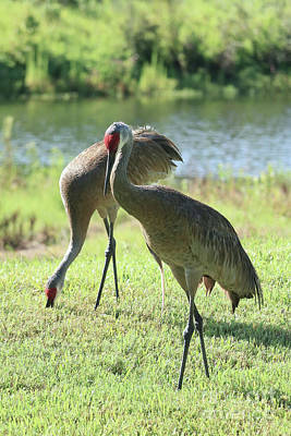 Photograph - Serene Sandhill Couple by Carol Groenen