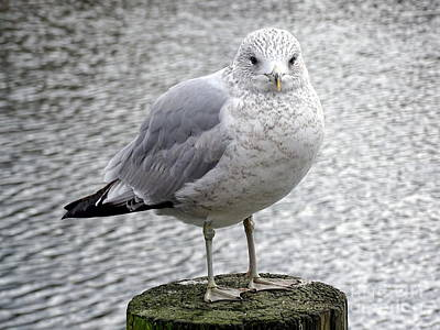 Photograph - Serene Seagull by Ed Weidman