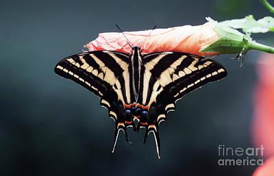 Photograph - Serene Swallowtail  by Ruth Jolly