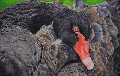 Duck Water Pencil Drawing - Serenity - Black Swan by Biophilic Art