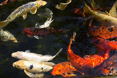 Photograph - Serenity Koi Fish 1 by John Stuart Webbstock