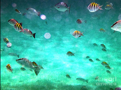 Photograph -  Sergeant Major , Fish , Sergeant Major Damsel Fish Ambergris Caye by David Zanzinger
