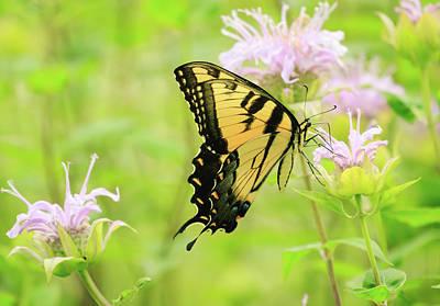 Photograph - Series Of Yellow Swallowtail #1 Of 6 by Joni Eskridge