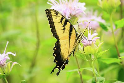 Photograph - Series Of Yellow Swallowtail #2 Of 6 by Joni Eskridge
