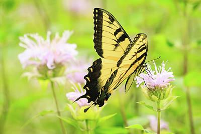 Series Of Yellow Swallowtail #4 Of 6 Art Print by Joni Eskridge