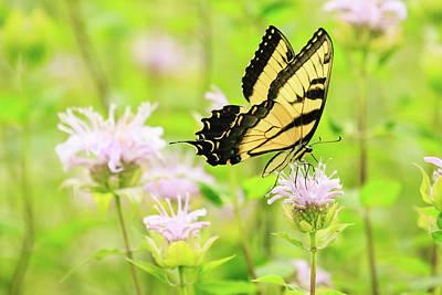 Photograph - Series Of Yellow Swallowtail #5 Of 6 by Joni Eskridge