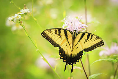 Photograph - Series Of Yellow Swallowtail #6 Of 6 by Joni Eskridge