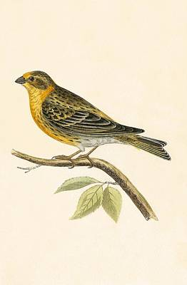 Finch Drawing - Serin Finch by English School