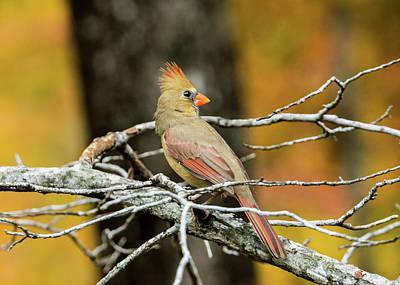 Photograph - Serious Cardinal by Douglas Barnett