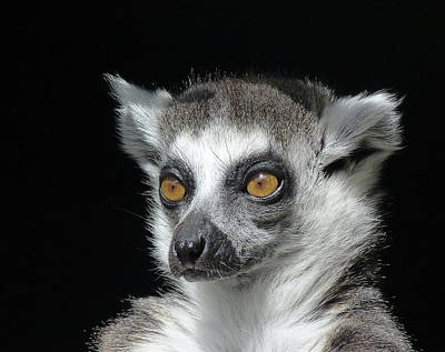 Photograph - Serious Ring-tailed Lemur by Margaret Saheed